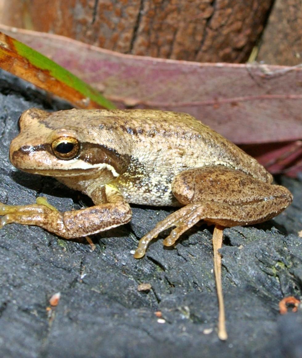 Mal Legg_Southern Brown Tree Frog